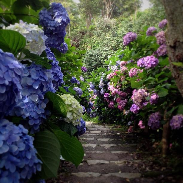 Hydrangea garden megstagram - Hydrangea in garden design ...